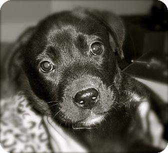 Labrador Retriever/Spaniel (Unknown Type) Mix Puppy for adoption in CHAMPAIGN, Illinois - CLARK