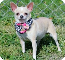 Chihuahua Dog for adoption in Temecula, California - Chica-Watch my Video!