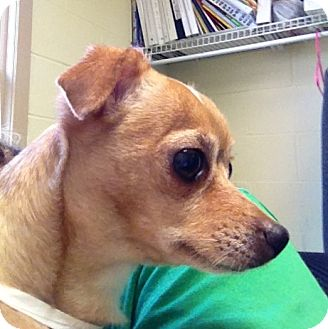 Chihuahua Mix Dog for adoption in South Haven, Michigan - Sonora