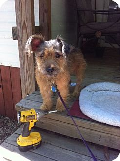 Cairn Terrier/Yorkie, Yorkshire Terrier Mix Dog for adoption in Paris, Illinois - Freddie