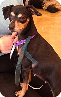 Miniature Pinscher/Chihuahua Mix Dog for adoption in Palatine, Illinois - Pixie