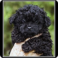 Adopt A Pet :: Louie - Fort Braff, CA