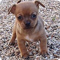 Adopt A Pet :: Tiny Dobie - La Habra Heights, CA