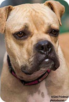 Pit Bull Terrier Mix Dog for adoption in Brooklyn, New York - Jolene