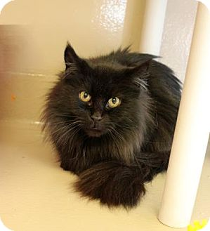 Domestic Longhair Cat for adoption in Welland, Ontario - Stormie