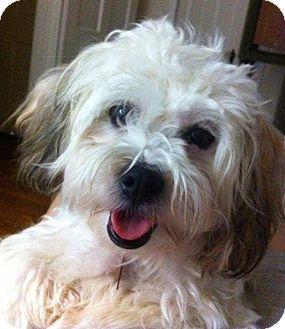 Havanese/Poodle (Miniature) Mix Puppy for adoption in Portland, Oregon - Dublin