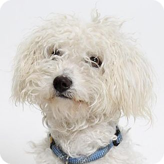 Poodle (Miniature) Mix Dog for adoption in Truckee, California - Willie