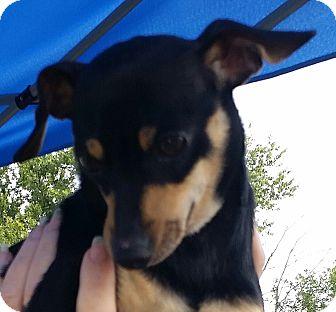 Dachshund/Chihuahua Mix Dog for adoption in Huntingburg, Indiana - Oscar