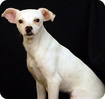 Chihuahua/Feist Mix Dog for adoption in Newland, North Carolina - Princess