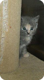 Domestic Shorthair Kitten for adoption in Greenville, Kentucky - Luna