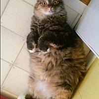Calico Cat for adoption in Saint Albans, West Virginia - Selena