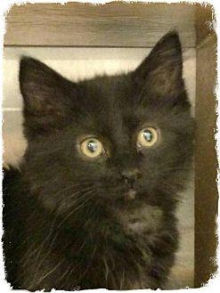 Domestic Mediumhair Kitten for adoption in Pueblo West, Colorado - Helen