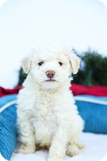 Maltese/Poodle (Miniature) Mix Puppy for adoption in Auburn, California - Snowball