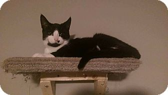 Domestic Shorthair Cat for adoption in THORNHILL, Ontario - Michonne