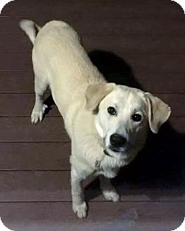Labrador Retriever Mix Dog for adoption in Goodlettsville, Tennessee - Buddy