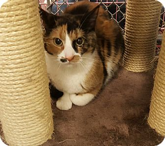 Domestic Shorthair Cat for adoption in Hawk Point, Missouri - Harmony
