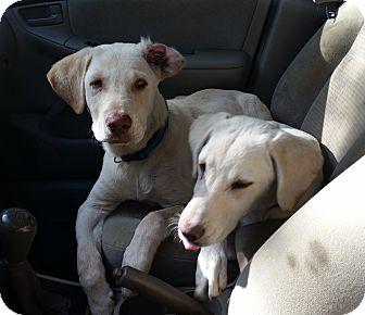Labrador Retriever Mix Puppy for adoption in Huntsville, Alabama - James