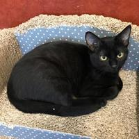 Domestic Shorthair/Domestic Shorthair Mix Cat for adoption in Rochester, Minnesota - Plum