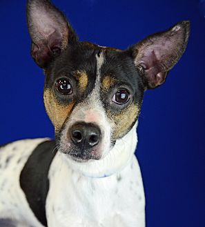 Rat Terrier/Terrier (Unknown Type, Small) Mix Dog for adoption in LAFAYETTE, Louisiana - EDDIE