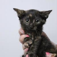 Adopt A Pet :: Suki - Daytona Beach, FL