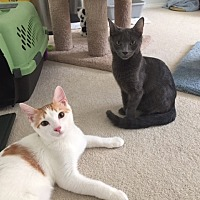 Adopt A Pet :: OLLIE and PEBBLES - Brea, CA