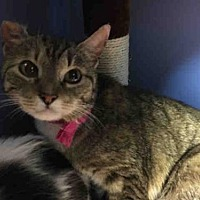 Adopt A Pet :: TESSA - Canfield, OH