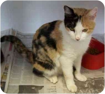 Calico Cat for adoption in Somerset, Pennsylvania - Zabrina