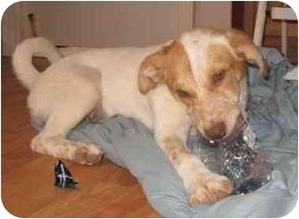 Spaniel (Unknown Type) Mix Puppy for adoption in Golden Valley, Arizona - Cassie
