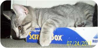 Domestic Shorthair Kitten for adoption in Mt. Prospect, Illinois - Raine