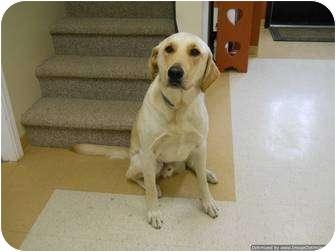 Labrador Retriever Mix Dog for adoption in Morden, Manitoba - Tucker