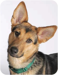 German Shepherd Dog Mix Dog for adoption in Chicago, Illinois - Dingo
