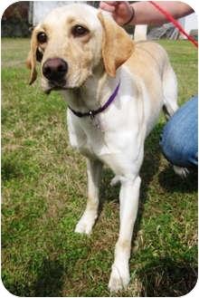 Labrador Retriever Mix Dog for adoption in Preston, Connecticut - CiCi