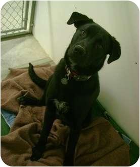 Maremma Sheepdog/Labrador Retriever Mix Dog for adoption in Creston, British Columbia - Asher