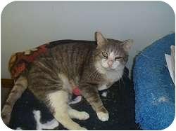 Domestic Shorthair Cat for adoption in Hamburg, New York - Boston