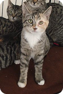 Domestic Shorthair Kitten for adoption in Speonk, New York - Alyssa