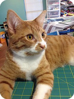 Domestic Shorthair Cat for adoption in Edmond, Oklahoma - Reese