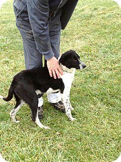 Labrador Retriever Mix Dog for adoption in Zanesville, Ohio - # 511-12 RESCUED!