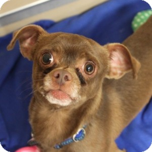 Chihuahua Mix Dog for adoption in Naperville, Illinois - John Jr.