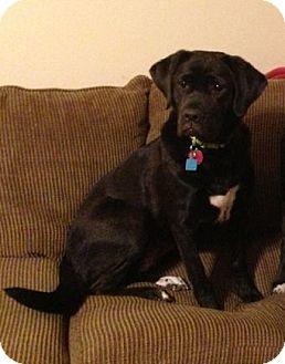 Labrador Retriever Mix Dog for adoption in Houston, Texas - Bella