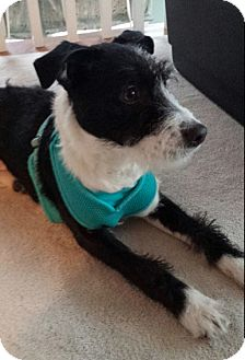 Terrier (Unknown Type, Medium) Mix Puppy for adoption in Hainesville, Illinois - Dexter