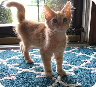 Domestic Shorthair Kitten for adoption in Franklin, Indiana - Eda