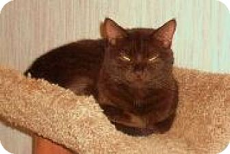 Domestic Shorthair Cat for adoption in Turnersville, New Jersey - Seal