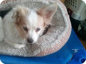 Chihuahua Mix Dog for adoption in Morgantown, West Virginia - Baby