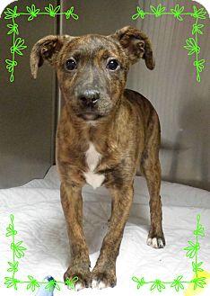 Dutch Shepherd Mix Puppy for adoption in Marietta, Georgia - BREEZE