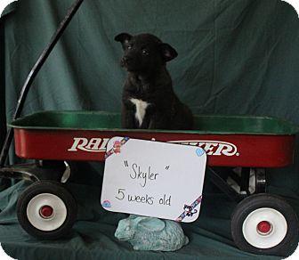 Belgian Malinois Mix Puppy for adoption in Daleville, Alabama - SKYLER