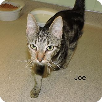 Domestic Shorthair Cat for adoption in Slidell, Louisiana - Joe