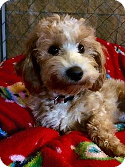 Cavalier King Charles Spaniel/Bichon Frise Mix Puppy for adoption in Mentor, Ohio - CANDY - READ MY ENTIRE BIO IT IS LONG BUT DETAILS WHAT I NEED