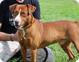 Retriever (Unknown Type) Mix Dog for adoption in Elyria, Ohio - Archer