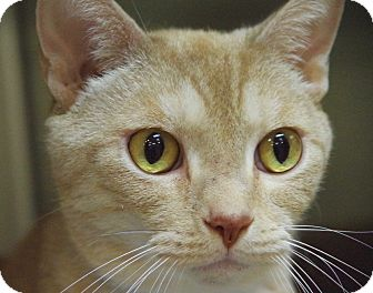 Domestic Shorthair Cat for adoption in Daytona Beach, Florida - Hudson