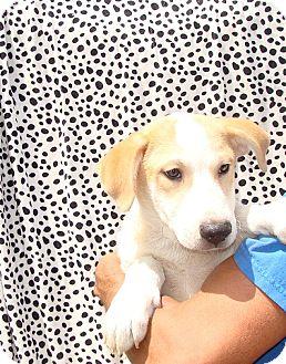 Golden Retriever/Labrador Retriever Mix Puppy for adoption in Oviedo, Florida - Xavier